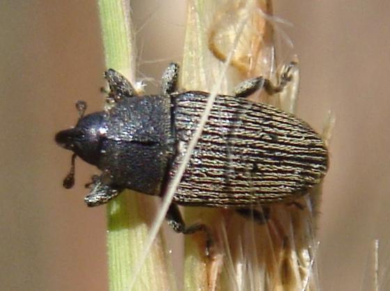 Weevil on broomsedge