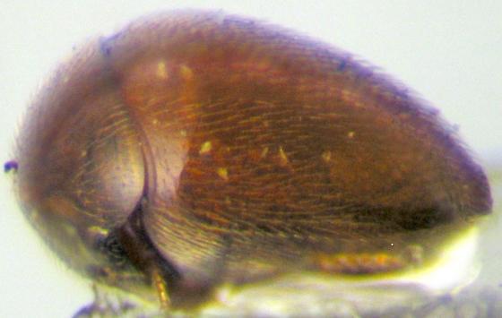 Clambus pubescens