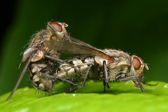mating flies - Pollenia - male - female