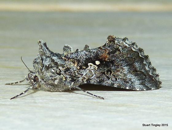 Dusky Silver Y Moth - Syngrapha octoscripta