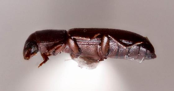 Very small Tenebrionid? - Tribolium castaneum