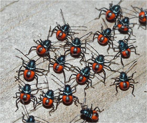 Florida Predatory Stink Bug nymphs? - Euthyrhynchus floridanus