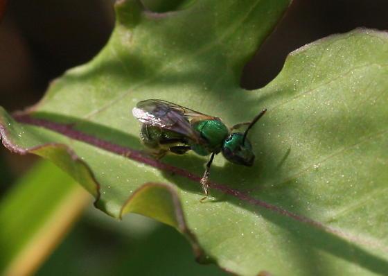 Agapostemon virescens or texanus? - Augochlorella - female