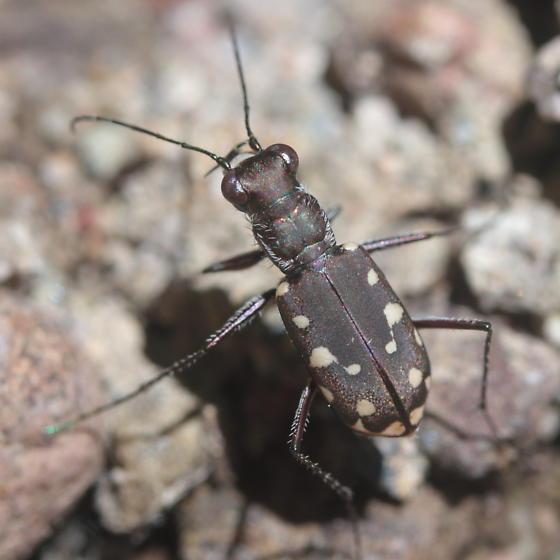 Tiger beetle - Cicindelidia sedecimpunctata