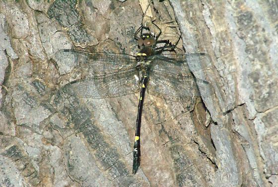 Swift River Cruiser on exuvia - Macromia illinoiensis - male