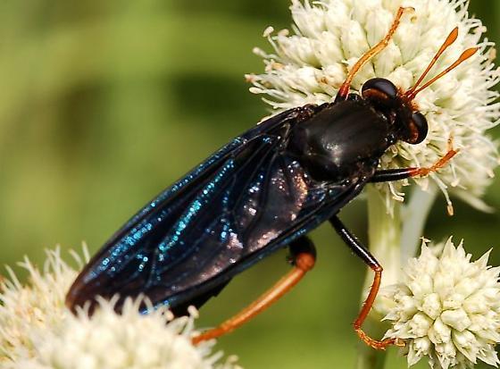 Mydas fly - Mydas tibialis