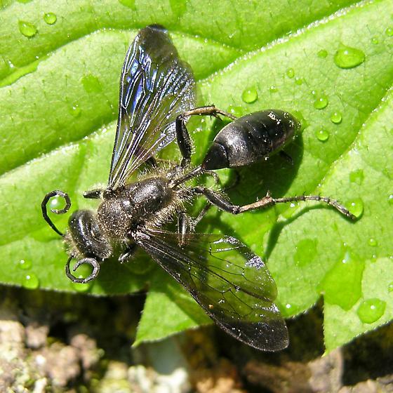 Wasp - Isodontia? - Isodontia mexicana