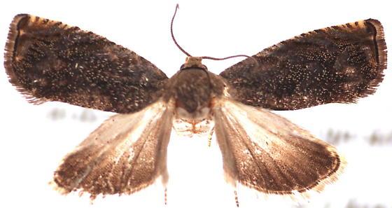 Cydia caryana - female