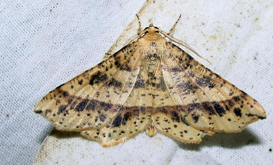 Euchlaena tigrinaria - male
