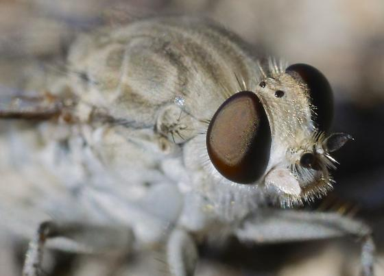 Apiocera wilcoxi? - Apiocera - female