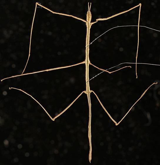 Walkingstick, dorsal - Parabacillus hesperus - female
