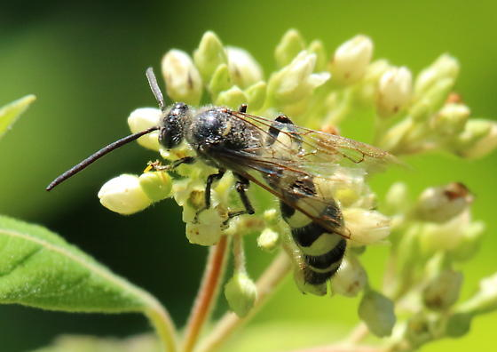 wasp - Dielis plumipes - male
