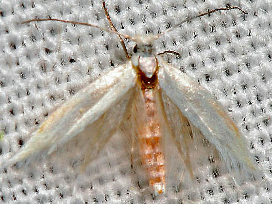 moth - Ocnerostoma piniariellum - female