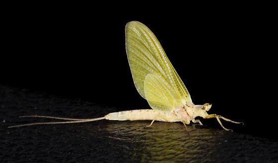 Yellow-winged Mayfly - Hexagenia
