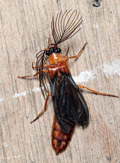 Phengodes sp. - Phengodes - male