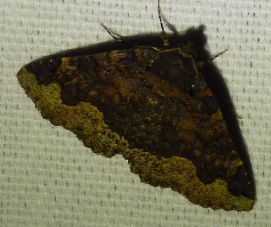 ZalehorridaHorrid Zale Moth  - Zale horrida