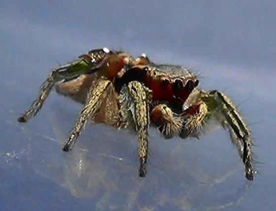 Green Legs & Red Face - Habronattus pyrrithrix - male