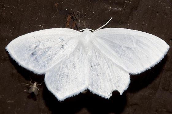 6965, Eugonobapta nivosaria, Snowy Geometer - Eugonobapta nivosaria