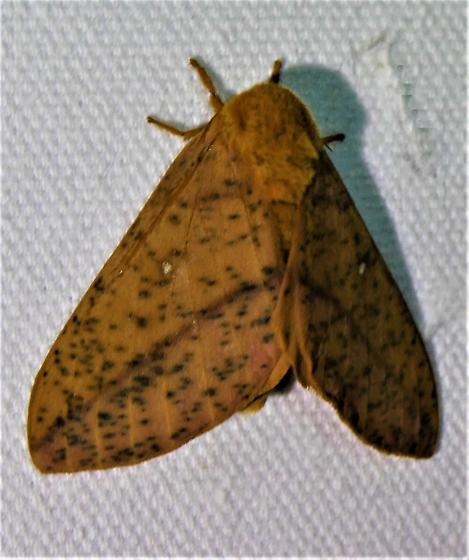 7716     Spiny Oakworm Moth     (Anisota stigma) - Anisota stigma