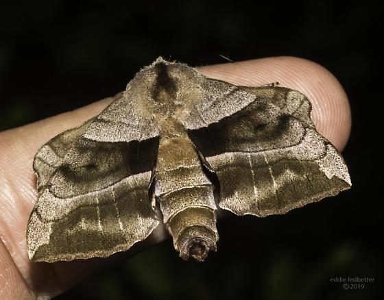 walnut sphinx moth? - Amorpha juglandis