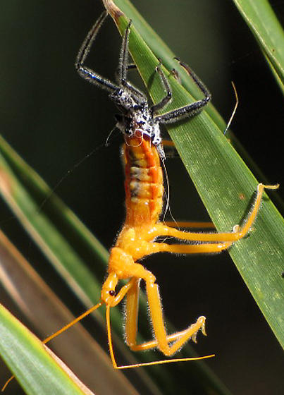 Wheel Bug - Assasin Bug.  - Arilus cristatus