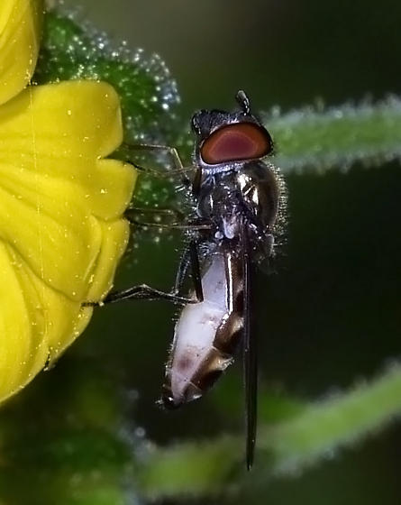 Syrphid Fly on Tarweed - Platycheirus - male