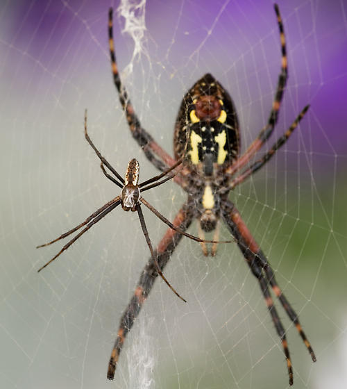 adult male - adult female - Argiope aurantia - male - female