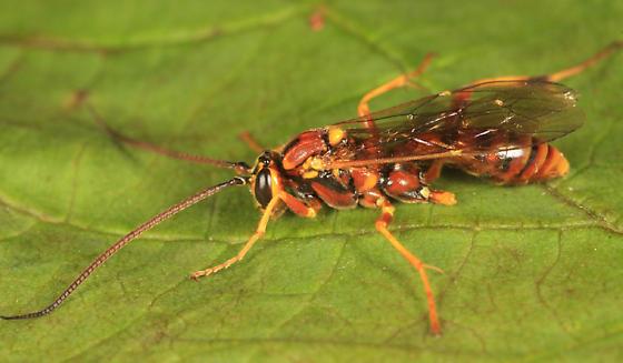 Banchus - Banchus inermis - female