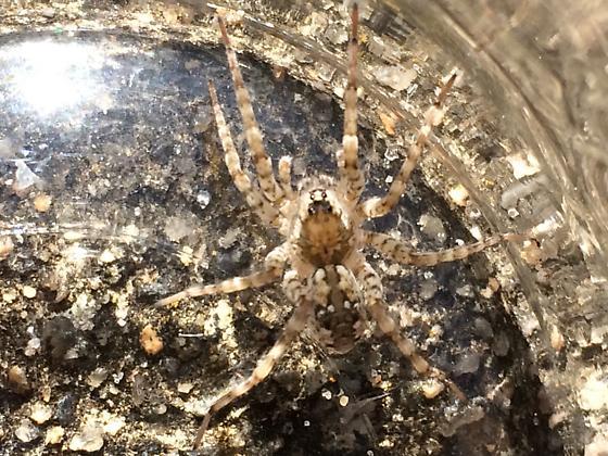Large beach spider - Arctosa littoralis