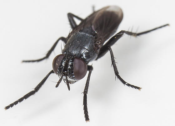 Fly - Kirbya setosa - female