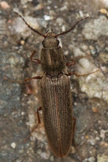 Street beetle - Sylvanelater cylindriformis