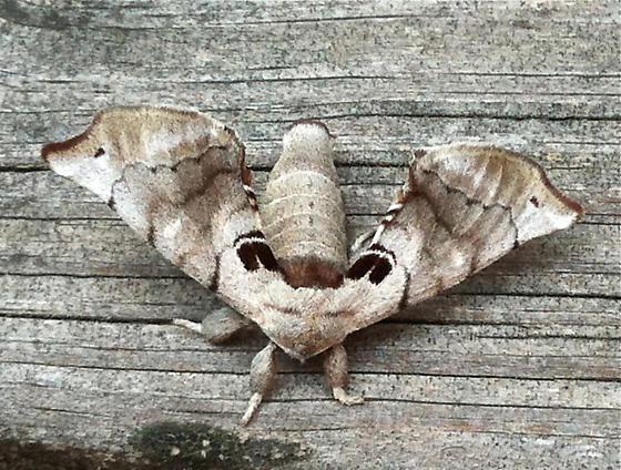 Silkworm Moth - Apatelodes torrefacta