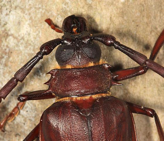 Thomas's Oak Borer  - Derobrachus thomasi