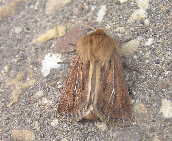 Noctuid moth - Hypocoena basistriga