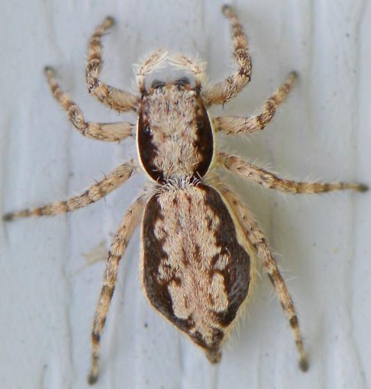 Menemerus bivittatus - female