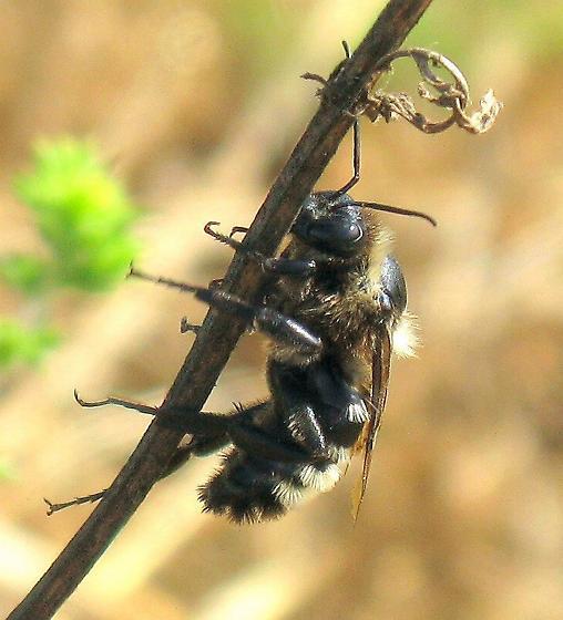 Giant Bumble Bee - Bombus sonorus