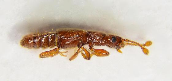 Very tiny staph... - Euplectus