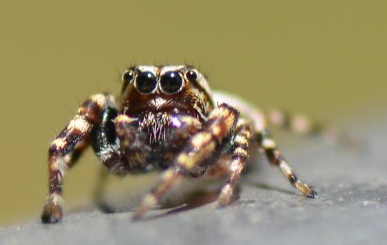 Pelegrina galathea - male