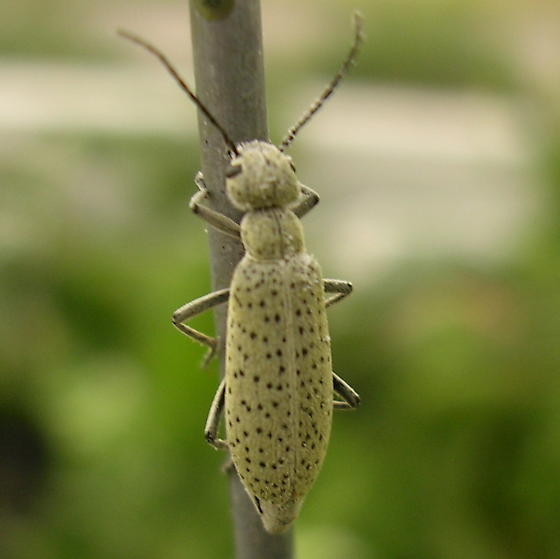 nasty bugs eating my garden to shreds! - Epicauta normalis