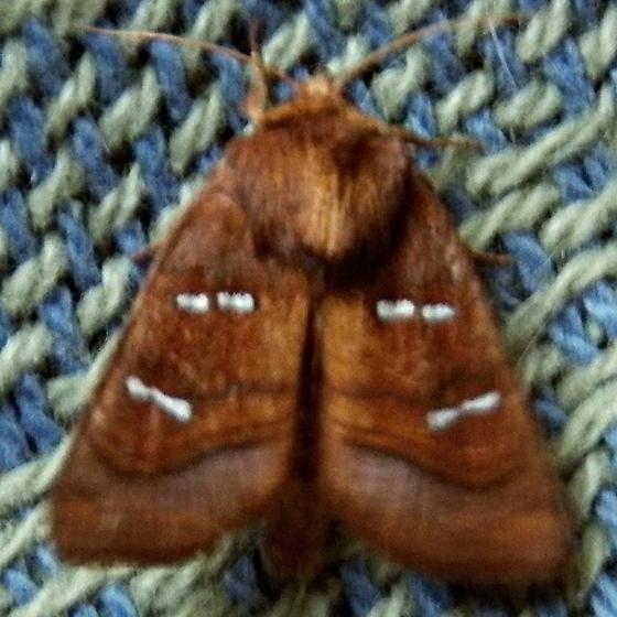 unknown moth 9-22-12 - Papaipema stenocelis