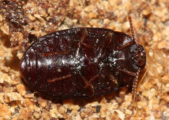 Polypore Teneb - Platydema americanum