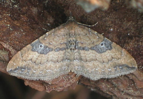 The Gem - Orthonama obstipata