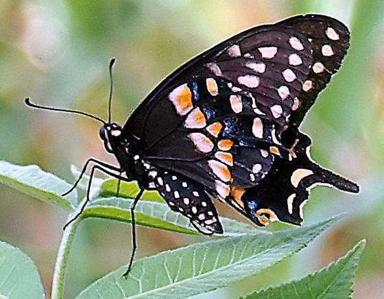 Black swallowtail?  view 2 - Papilio polyxenes