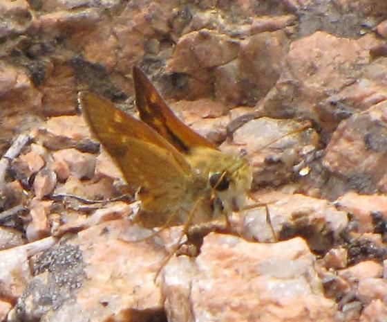 Pawnee Montane Skipper - Hesperia leonardus - male