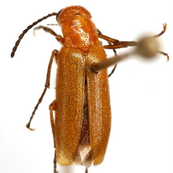 Nemognatha lutea lutea LeConte - Nemognatha lutea - male