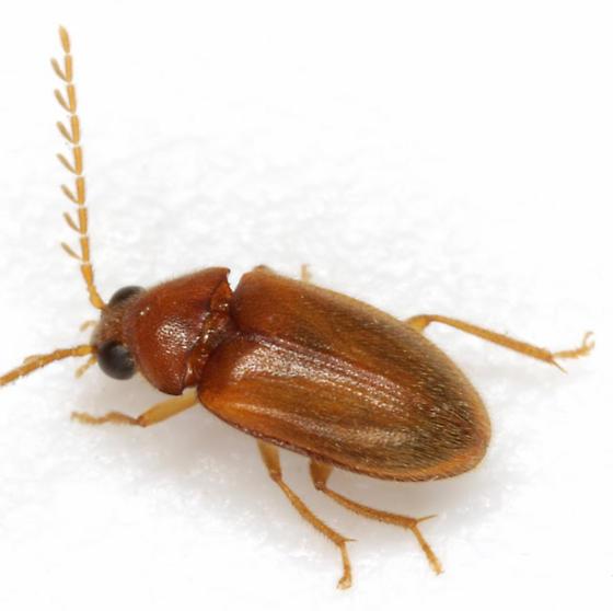 Ptilodactyla - male