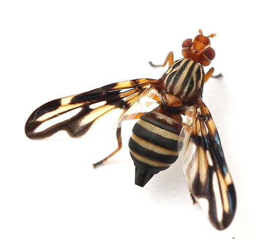 Idana marginata - female
