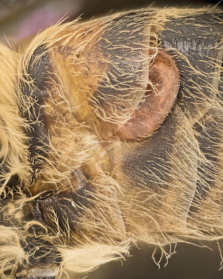 Mite on honey bee - Varroa destructor - female