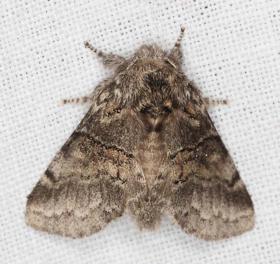 Notodontidae, Common Gluphisia - Gluphisia septentrionis