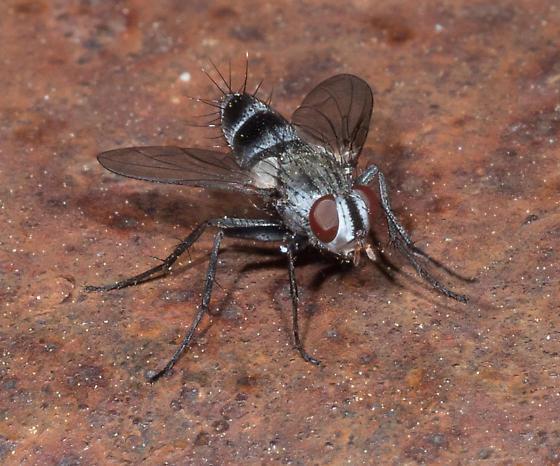 tachinid fly? - Zelia ruficauda